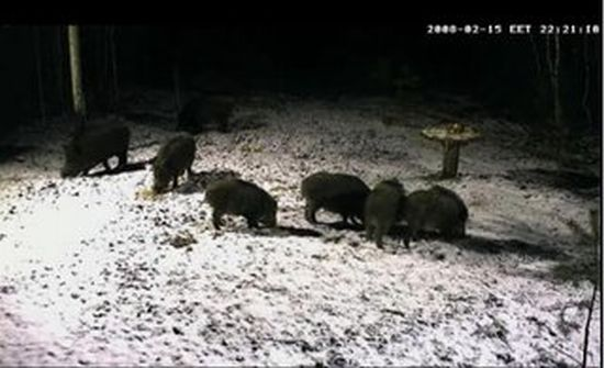 A webcam in the woods. Let's have a look on wildpigs in Live