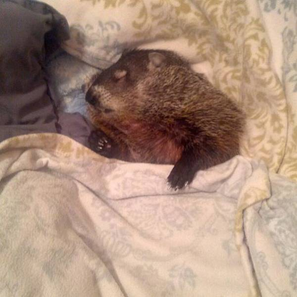 Blind Woodchuck Saved From Certain Death Becomes A Human Family Member