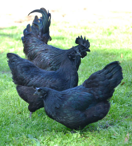 Probably, The Darkest Thing In The World – The Rare Black Ayam Cemani Chicken