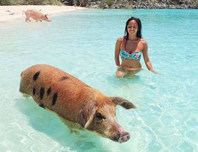 Bahamian Swimming Pigs Become Yet Another Victims Of Human Idiocy