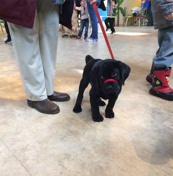 The Day When Service Puppies Enter Their New Jobs Is The Cutest Day Ever