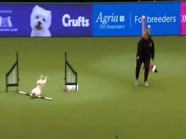 This Doggie Couldn't Care Less About The Fact That He Was Competing At The World's Top Dog Show