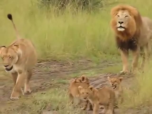 These Lion Cubs Roar Almost As Their Father!