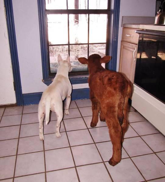 It's Hard To Make A Cow Think She Is A Dog – But They Managed To Do That