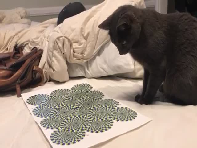 Cats Can Become Victims Of Illusions Too