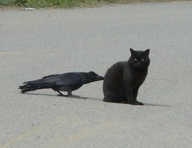 Crows Just Don't Give A Flying F#ck About Anything In This World
