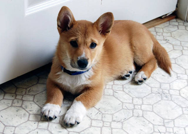 Corgis Can Be Even More Adorable When Mixed With Other Dog Breeds