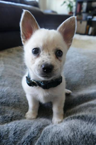 Corgis Can Be Even More Adorable When Mixed With Other Dog