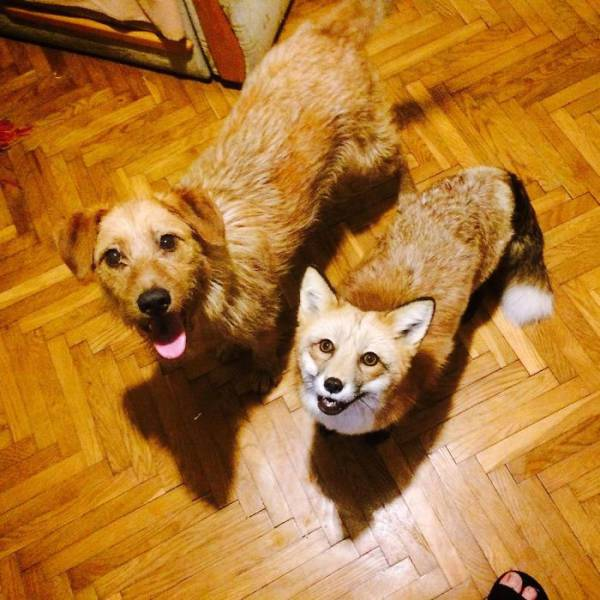 This Adorable Fox Was Saved From A Certain Death And Now Has Lots Of New Friends