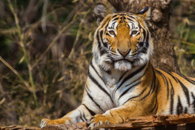 Nobody Really Knew What Was Hidden Under Tiger's Striped Fur. Up Until Now