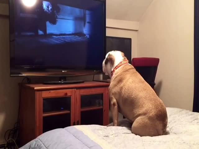 Bulldog Tries To Save The Girl While Watching A Horror Movie