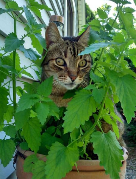 Catnip, Or How Cats Get Stoned