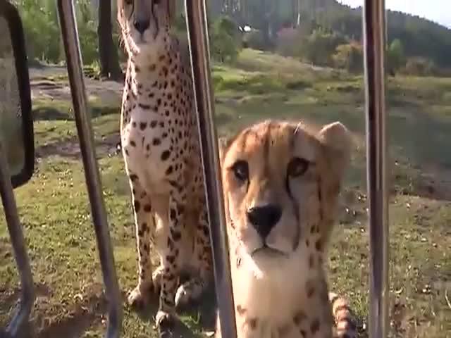 Cheetah Is Still Just A Big Cat