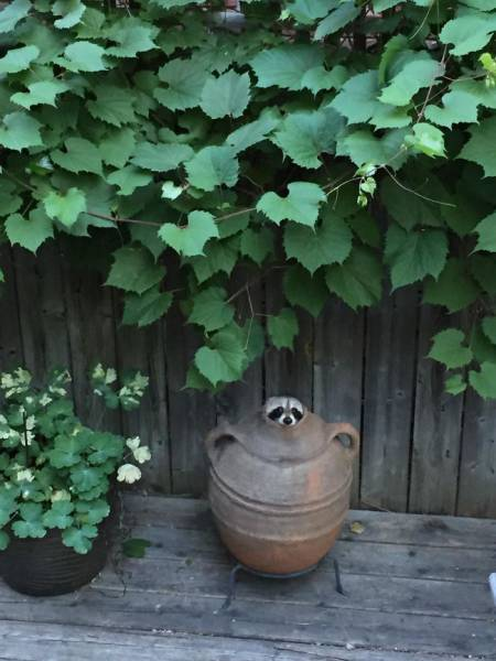 Raccoons Might Steal Your Trash… And Your Heart