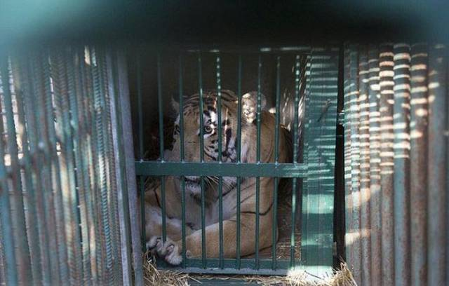 This Tiger Was Saved After Being On The Brink Of Death!