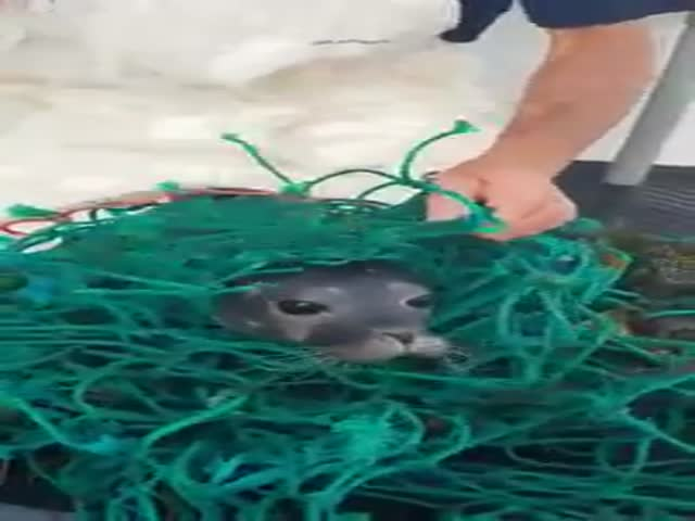 This Cute Seal Was Caught In Net But His Saviors Were Nearby To Help Him Out