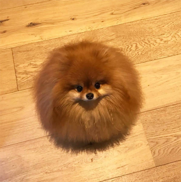Pomeranians Are Actually Water-Soluble!