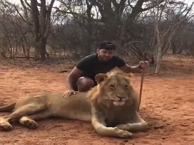 Lions Can Scare Human Even With Sneezing…
