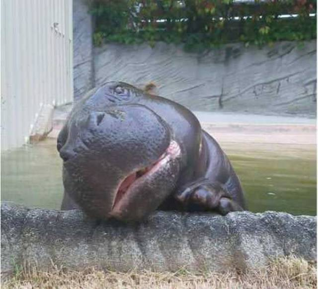Hippo Knows How To Enjoy His Life!