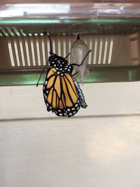 Here's How A Beautiful Monarch Butterfly Is Born