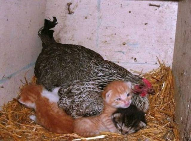 Hens Mothers Behave Like Real Mothers After All