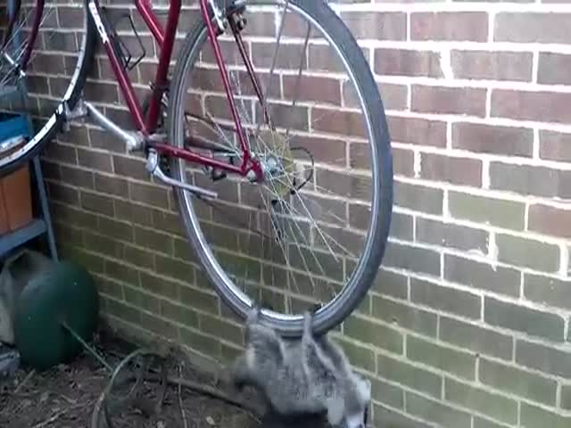 Adorable Raccoons Turn A Bicycle Into A Swing