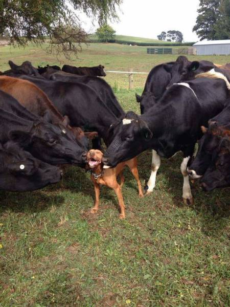 Cows Are More Similar To Dogs Than You Might Think