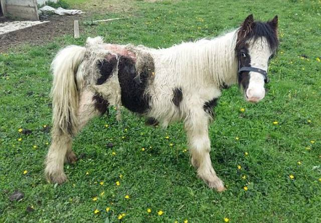 After This Pony Was Saved From Certain Death He Proved That It Was Worth It