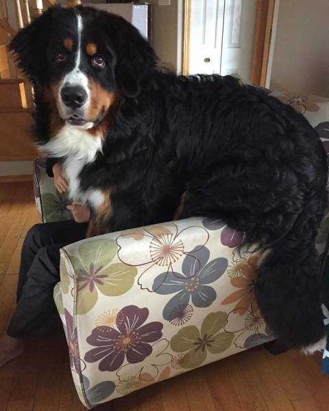 Nothing Will Stop These Giants From Believing They Still Can Be Lap Dogs!