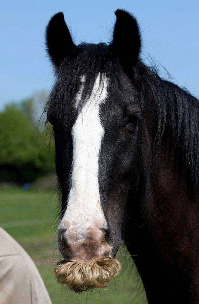 If You Thought You Know Everything – Horses Can Grow Moustaches