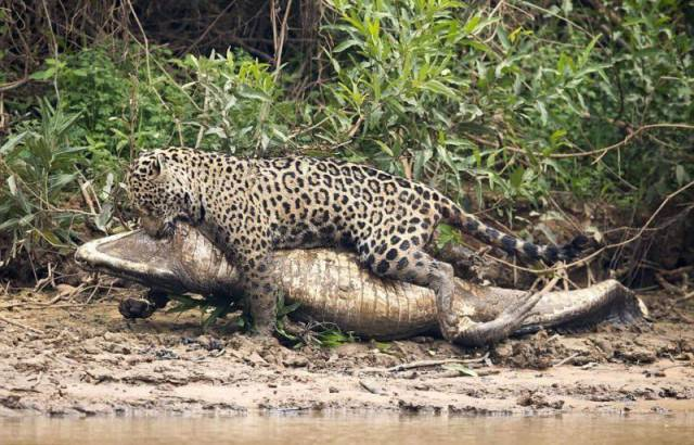 In Brazil It's Not Even Uncommon To See Caiman And Jaguar Fighting
