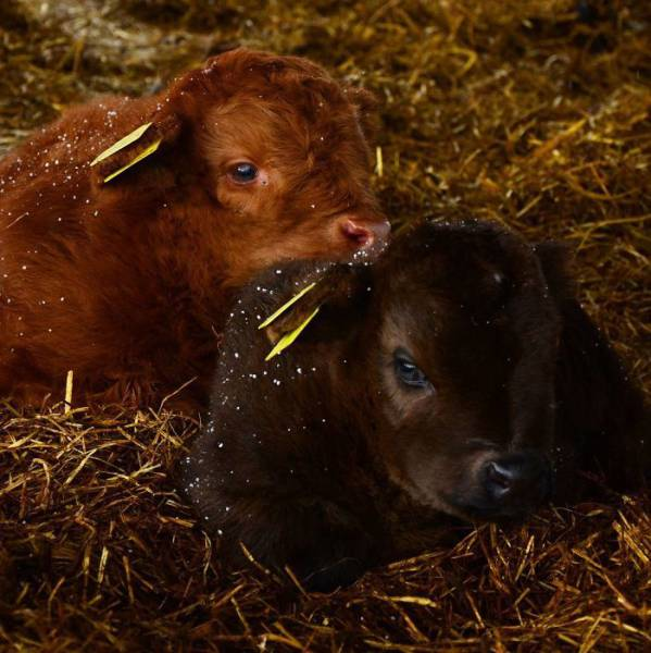 Highland Cattle Calves Might As Well Be The Most Beautiful Babies Of All Animals