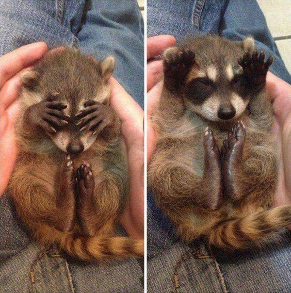 Raccoons Are The Essence Of Cuteness