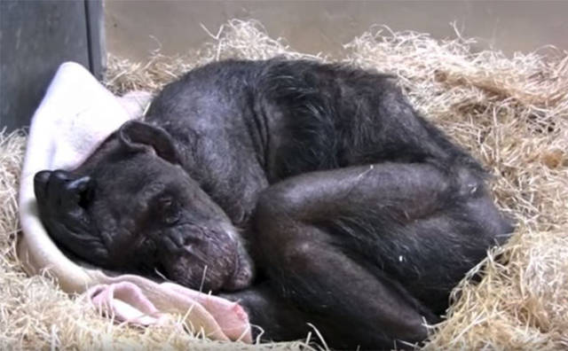 The Only Human This 59-Year-Old Chimpanzee Wanted To See Was Her Old Caretaker Who Finally Came To See Her