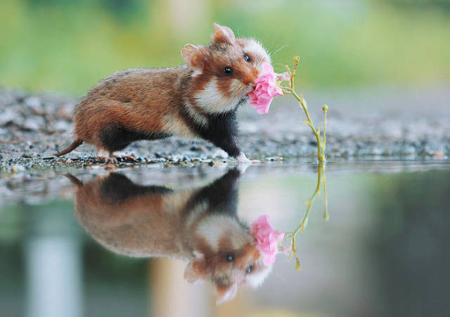 Wild European Hamsters Can Make Anyone's Day Better