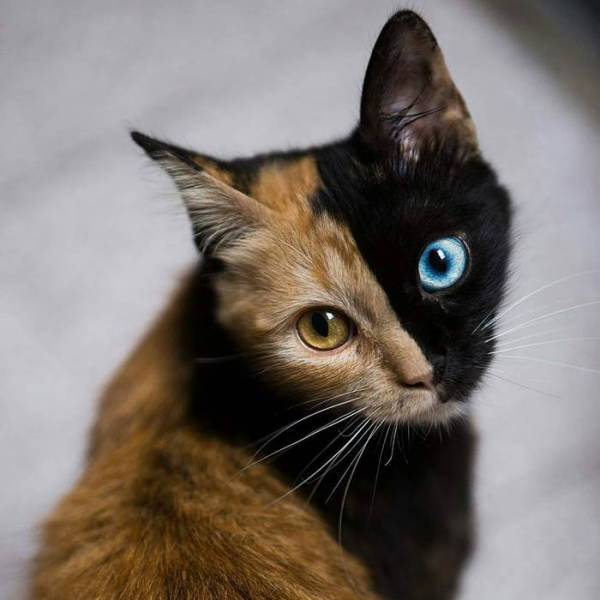 Chimera Cat Is The Most Adorable Genetic Surprise Nature Has Created