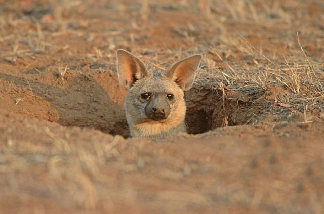 Aardwolf Might As Well Be The Cutest Wild Animal Out There