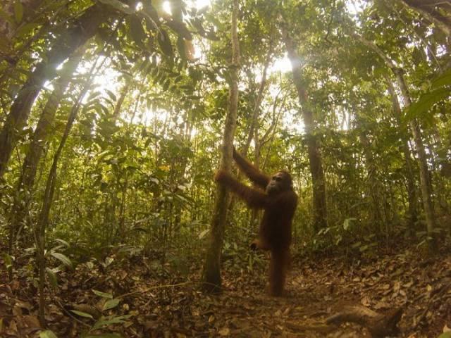 Orangutans Love Selfies As Well!