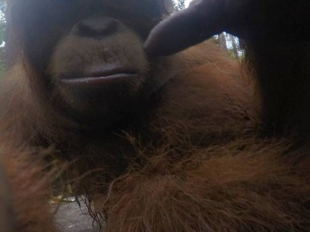 Orangutans Love Selfies As Well!