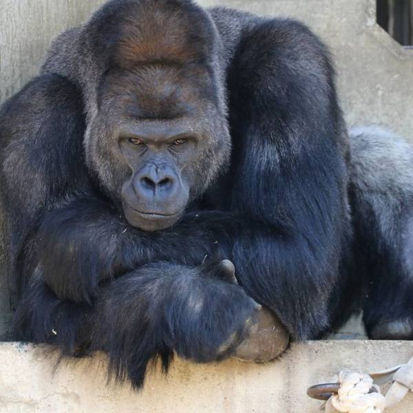 This Is Probably The Most Handsome Gorilla You've Ever Seen