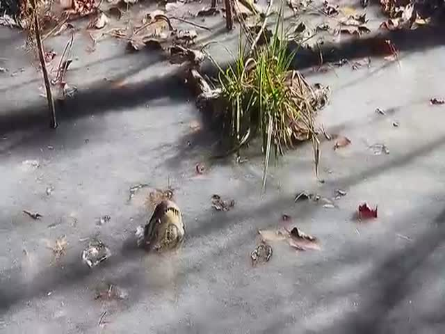 How Alligators Cope With The Cold