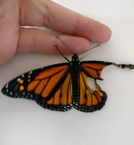 Mujer repara el ala de una mariposa. Mirá el resultado