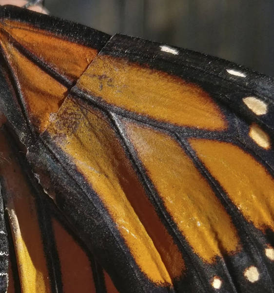 This Woman Was Able To Save A Monarch Butterfly And Give It A Second Life!