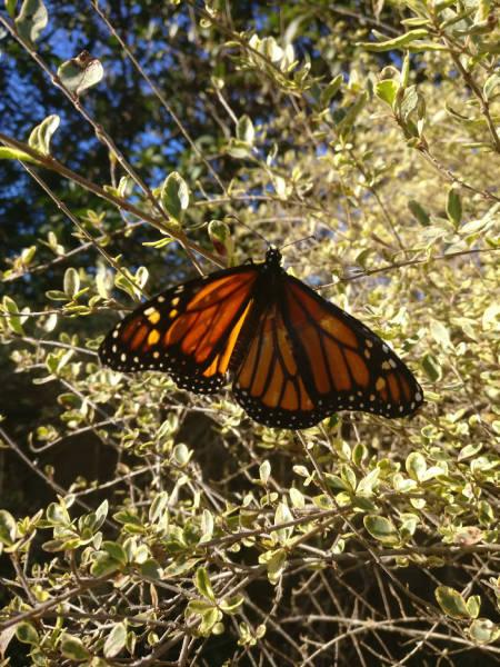 como sanar una mariposa