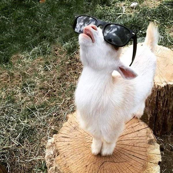 Goats Are Great Animals Too!