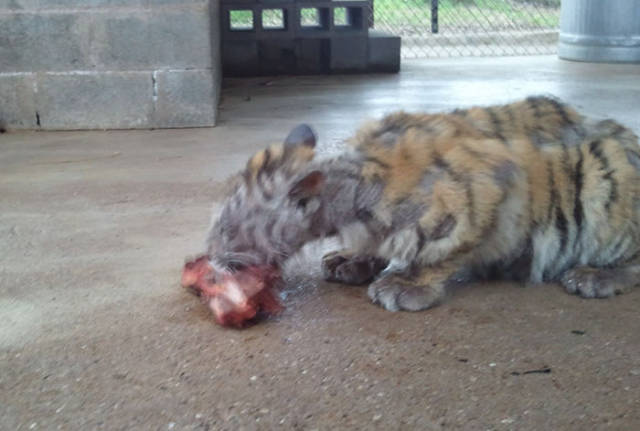This Tigress Was Almost Dying But Was Saved By Some Kind Hearts