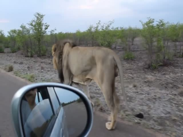 Lion Knows How To Show That Enough Is Enough