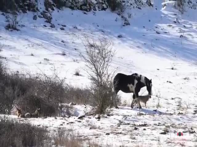 That Horse Doesn't Fear Any Wolves