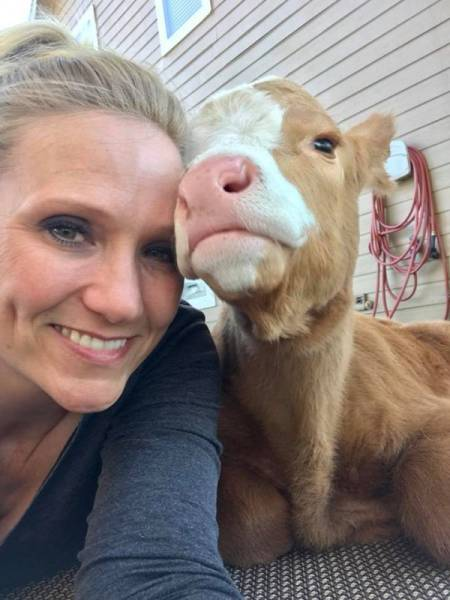 Cow Rescued And Raised Among Dogs Thinks She Is Just A Very Big Dog