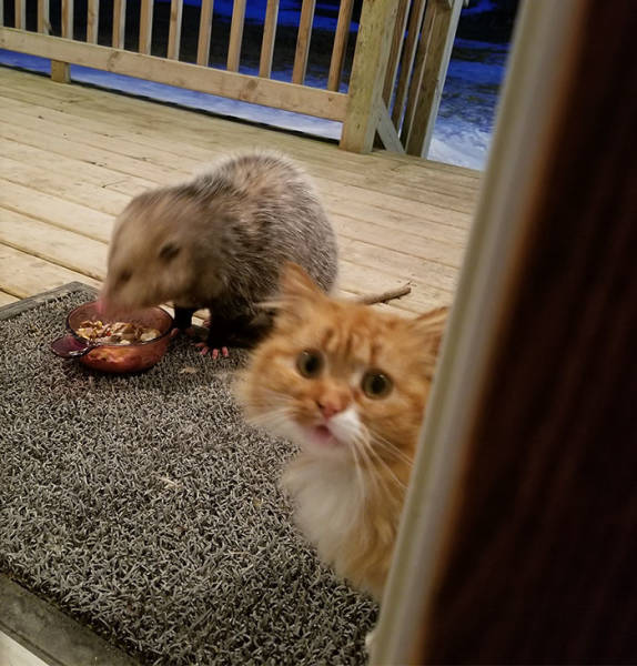 Cat Really Didn't Expect That Possum Stealing Her Food…